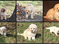 Golden-Doodle F1B Puppies 2 Males 2 Females Mother is a