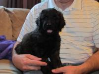 GOLDEN-DOODLE HYBRID MIX PUPPIES: Born May 19, 2013,