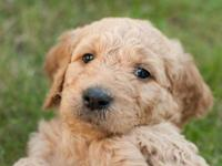 Golden Doodle Puppies, Taking deposits, Born Fathers