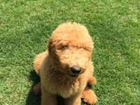 Tito is a 15 week old Golden doodle puppy. He is crate