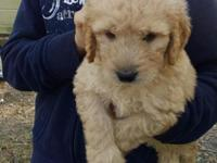 Beautiful light apricot Golden Doodle puppies for