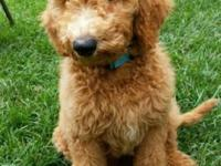 Tito is a 12 week old Golden doodle puppy. He is crate
