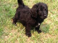Black golden doodle puppies Standard size vac and