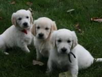 100 % European Cream puppies. All AKC and OFA