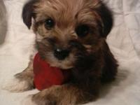 This small female yorkie poo prepared for her brand-new