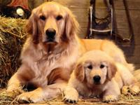 BEAUTIFUL AKC PRUE BRED GOLDEN RETRIEVER PUPPIES,