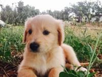 8 weeks old golden retriever/ lab puppies . 2 males and
