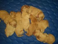We have 8 adorable Golden Retriever puppies light in