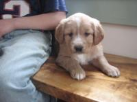 I have a beautiful liter of golden mix puppies that