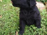 Cute, rambunctious Golden/Newfie puppies. Born August
