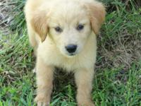 We have one baby boy left! Mother is Golden Retriever,