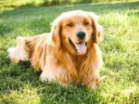 Golden Retriever Puppies, male and female, $600,