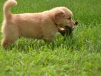 10 weeks old Golden retreiver puppies ready for