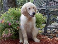 Adorable Purebred Golden Retriever puppies!!! These