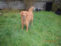 extremely friendly golden retriever, he is neutered,.