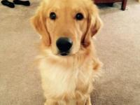 This is Andy. He is a purebred golden retriever and