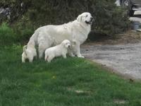 British Cream Bloodlines Golden Retriever guy. Has had