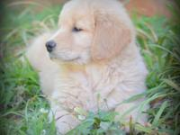 Golden Retriever Female Puppy. Born on March 31, she is