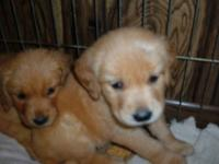 Gorgeous golden retriever puppies ready to go August 4.
