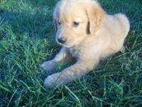 I have two very nice, male Golden retriever puppies