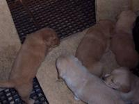 Golden Retriever Puppies born 09-25-2013. Mother is