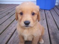I have one male and two female golden retriever puppies
