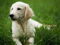 Beautiful well socialized boy golden retriever. English