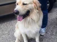 Golden Retriever - Ari - Large - Young - Male - Dog Ari