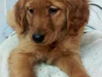 Beautiful and Healthy Golden Retriever Pup!!Her price