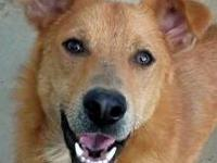 Golden Retriever - Bebe Adoption Pending - Medium -