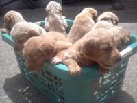 golden retriever / brittany spaniel mixed puppies