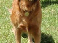 Golden Retriever - Carma - Medium - Adult - Female -