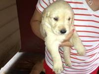 Golden Retriever Puppies, AKC, champion bloodlines. One