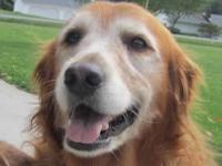 Golden Retriever - Daisy - Large - Adult - Female -