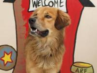 Golden Retriever - Denver - Medium - Young - Male -