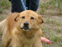 Golden Retriever - Dollar - Sponsored! $40 Adoption