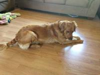 Golden Retriever - Duke - Extra Large - Young - Male -