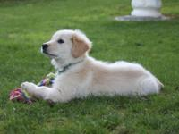 I have a 11 weeks old Golden Retriever English Cream