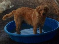 American Golden Retriever AKC unlimited. Two years old