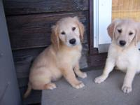 Golden Retriever Female Puppy Ready November 1st at 8