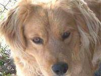 Golden Retriever - Georgie - Large - Young - Male -