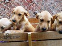 Golden Retriever - Golden Retriever Mix Pups - Medium -
