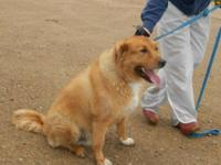 Golden Retriever - Grady - Large - Adult - Male - Dog