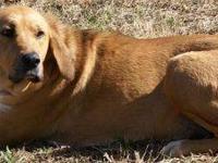 Golden Retriever - Gunner - Medium - Adult - Female -