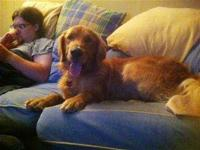 Golden Retriever - Harley - Pending Adoption - Large -