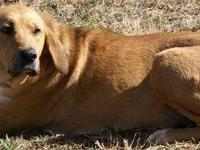 Golden Retriever - Holly - Extra Large - Adult - Female
