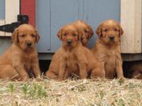 Beautiful Pure Bred puppies. Not registered. Mother is