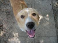 Golden Retriever - Jack - Medium - Adult - Male - Dog