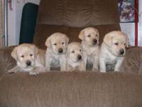 Gorgeous Goldador puppies are a Stunning example of its