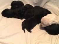 We have 3 Puppies left! 2 females and 1 male. 2 are